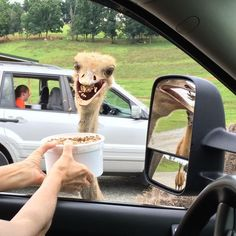So much in one capture: an Ostrich/food in mid-flight/crying girl in other car/creeper in the side mirror