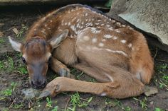 On June 2, the Topeka Zoo welcomed a female North American Elk calf. The girl was born to 4-year-old mother Aspen, and she has been given the name Maple. Check out ZooBorns to learn more and see more! http://www.zooborns.com/zooborns/2015/06/north-american-elk-calf-debuts-at-topeka-zoo.html