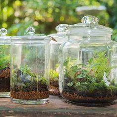 Het kan: een tuintje in een fles, waarbij de planten in een afgesloten ruimte overleven in hun eigen zelfvoorzienende ecosysteem. Je kunt allerlei flessen gebruiken, flessen waarin bier wordt gebrouwen, maar ook een mooie grote augurkenpot is om te toveren tot een tropisch binnentuintje.