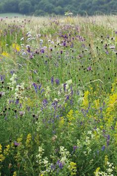 Wildflower mix - starts to flower in spring with Cowslip, Birdsfoot Trefoil, Lady's Bedstraw, Rough Hawksbit, Red Clover, Oxeye Daisy, Yellow Rattle, Meadow Buttercup. Followed through the summer and into Autumn with Selfheal, Sorrel, Tufted Vetch, Knapweed, Toadflax, Musk Mallow and Ragged Robin. -