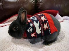 Are you serious kidding me? A Christmas bunny in a sweater? Is someone trying to kill me with bunny adorable ness overload? Baby Bunnies, Cute Bunny, Bunny Rabbit, Bunny Pics, Christmas Bunny, Christmas Animals, Christmas Jumpers, Christmas Sweaters, Hamsters