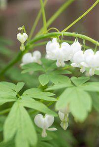 Top 10 of the shadow plants, Diy Flowers, White Flowers, Shadow Plants, Vegetable Garden Tips, Garden Makeover, Lawn Edging, Shade Perennials, White Gardens, My Secret Garden