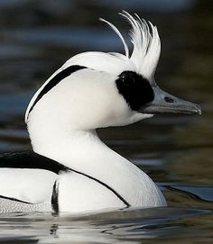 Smew(Mergellus albellus) Breeds in the northern taiga of Europe and Asia; winters on sheltered coasts or inland lakes of the Baltic Sea, the Black Sea, N Germany, the Low Countries, Great Britain