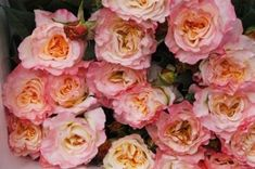 Garden Rose - Augusta Luise. Augusta Louise is mostly pink, but it does have some yellow undertones and becomes lighter as it opens. It is very fragrant and will freshen up an entire room as it opens into beautiful, large blooms. Sold with side shoots.