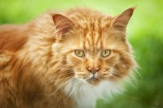 Cat - Cats Wallpaper ID 1809980 - Desktop Nexus Animals
