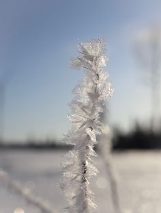 Kuuralehdet Frost leaves