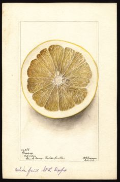 Artist:Passmore, Deborah Griscom, 1840-1911 Scientific name:Citrus paradisi Common name:grapefruits art original : col. ; 17 x 26 cm Year:1902