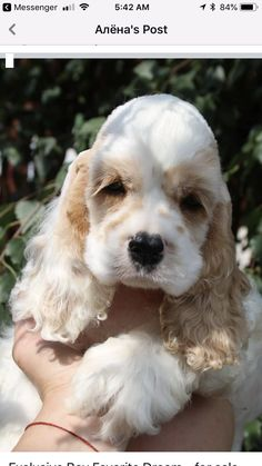 Cute Baby Dogs, Baby Cats, I Love Dogs, Doggies, Pet Dogs, Dogs And Puppies, Pets, American Cocker Spaniel, Cocker Spaniel Puppies