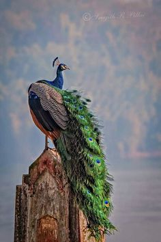 Peacock Pictures, Peafowl, Colorful Feathers, Wall Art Pictures, Kerala, Pet Birds, Wonders Of The World, Mother Nature, Places To Visit