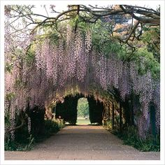 hanging wisteria. love this. would be a dream to have that at your wedding venue