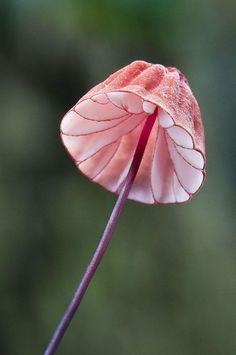 Pink Fungus.