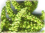 Historia del Amaranto. Esta planta 'destruiu' os transgênicos.