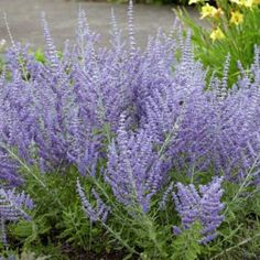 Dwarf Russian Sage Lacey Blue, Perovskia atriplicifolia - Spring Perennials from American Meadows