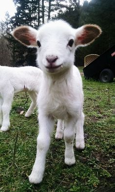 Image result for cute lamb