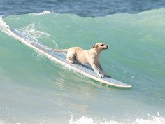 Surfing Doggie. Look mom this is soooo cool. Have my organic doggie treat waiting for me. Www.boneyardbakery.net