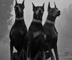 Black And White Picture Wall, Black And White Pictures, Perro Doberman Pinscher, Animals And Pets, Cute Animals, Scary Dogs, Doberman Love, Black And White Aesthetic, Beautiful Creatures