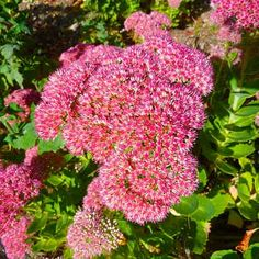 Photo: Magnus Manske/Commons.Wikimedia.org | thisoldhouse.com | from Vibrant Blooming Plants for a Late Summer Garden