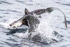 TABLES TURNED: Predator becomes prey! Incredible moment sea lion feasts on a shark Thresher Shark, Ocean Food, Whale Watching Tours, California Coast, California Nails, Shark Week, Sea World, Wildlife Photography, Predator