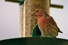 Either a Purple or House finch, at the feeder in Kelowna.