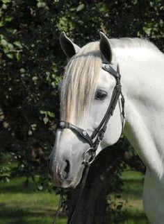 Espartano Mf. Andalusian.