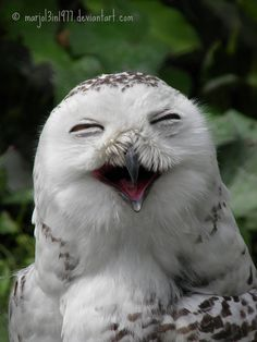 """""""Laughing Owl"""" picture was taken at  the Dutch zoo called 'Blijdorp' in 2010."""