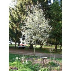 Amelanchier 'Ballerina' can be grown as a multi-stemmed bush, or as a single-stemmed 'standard' tree. Beautiful spring flowers and autumn foliage. Patio Trees, Potted Trees, Trees To Plant, Landscaping Plants, Outdoor Landscaping, Outdoor Plants, Small Garden Trees Uk, East Facing Garden, Gardens