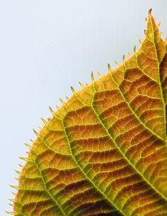 leaf edge