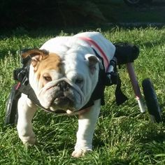 Recently had spine trauma, not 100% mobile but with her wheelchair is go go go!!!!