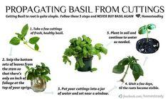 Growing basil