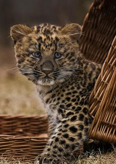~~Nekama ~ North China Leopard Cub by Blitzknips~~