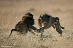baboons fighting - Google Search