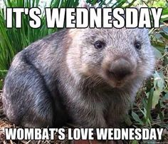 Every Wednesday from now on will be Wombat Wednesday in honor of this picture.