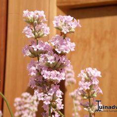 Lavendel - Lavandula angustifolia 'Felice Pink'