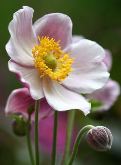 "Floral Delight- Floral Delight … for a happy weekend ! with a Japanese Anemone / Herbstanemone (Anemone japonica) in July in our garden – Frankfurt-Nordend More Anemones in my personal ""from-spring-to-autumn"" Anemone Collection. Small Pink Flowers, Exotic Flowers, Beautiful Flowers, Beautiful Pictures, Fresh Flowers, Summer Flowers, Wild Flowers, Flowers Perennials, Planting Flowers"