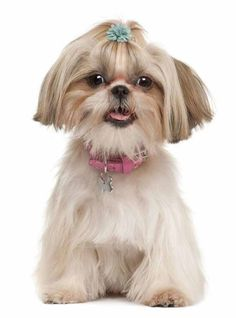 Shih Tzus have attitude (like this cutie) and certain ideas for boy or girl Shih Tzu names will work better than others. Here's a few unique ideas... http://www.dog-names-and-more.com/Shih-Tzu-Names.html