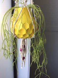 Himalaya Rhipsalis Cassutha - Mistletoe Cacti