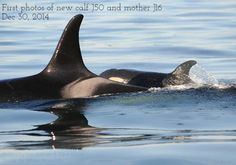 New Southern Resident Killer Whale Calf Spotted In Gulf Islands, B.C. (PHOTOS) Dec. 30th, 2014