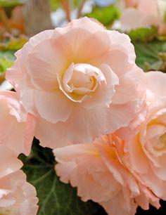 Pink Blush Scentiment AmeriHybrid® Begonia