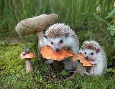 Uploaded by MOVED TO Find images and videos about cute, animals and hedgehog on We Heart It - the app to get lost in what you love. Hedgehog Art, Cute Hedgehog, Animals And Pets, Baby Animals, Cute Animals, Beautiful Creatures, Animals Beautiful, Tier Fotos, Cute Animal Pictures