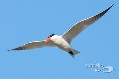 Caspian Tern  Hydroprogne caspia  Common permanent resident