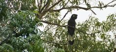 Yellow Tailed Black Cockatoo. Spotted at Salt Ash, Port Stephens. A large bird with a distinctive cry, often seen perching in our backyard. #blackcockatoo #portstephens