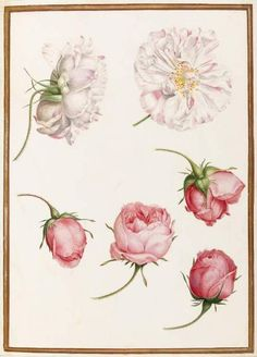 Attributed to Nicolas Robert, Five heads of old fashioned roses, 17th century (source).