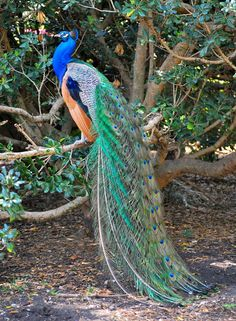 157 Best Proud Peacocks Images Peacock Peacock Decor