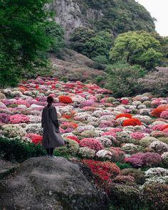 """栗山 喬 sur Twitter : """"この風景が見れるのは、1年のうち数日間だけ! 20万本のツツジが咲き乱れる御船山楽園の「ツツジ谷」が美しかった。… """""""