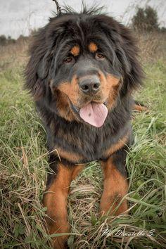 Tibetan Mastiff-Im dying! He looks like he just got a really bad haircut..hahahahahahahaha