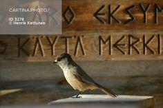 kuukkelin muistisäännöt (3278). erämaa, erämaalintu, henrik kettunen… Bird, Animals, Animales, Animaux, Birds, Animal, Animais