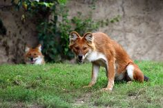 The Dhole is a species of canid native to South and Southeast Asia. The dhole is a highly social animal, living in large clans which occasionally split up into small packs to hunt. Bizarre Animals, Dangerous Animals, Unusual Animals, Rare Animals, Animals And Pets, Animals Photos, Pretty Animals, Animals Beautiful, African Wild Dog