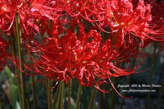 Fall Flowers- Spider Lilies