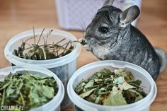 Food for Chinchillas :)