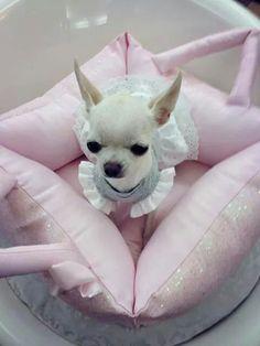 cute photo of a Chihuahua